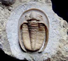 Dolichoharpes reticulatus 2 image of trilobite