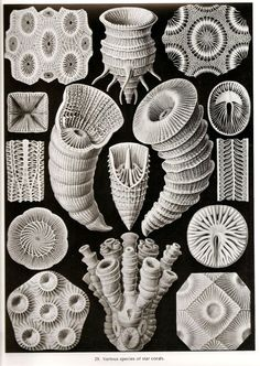 Ernst Haeckel collection of coral (invertebrates in class Anthozoa of phylum Cnidaria) drawings.