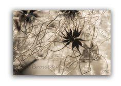 photographie nature de graines de fleur de clématite sauvage - photo macro nature décoration : Photos par couleurs-nature-deco
