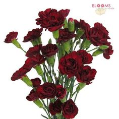 Burgundy Mini Carnations are multi-bloom sprays of festive color, perfect for arrangements and bouquets. Description from bloomsbythebox.com. I searched for this on bing.com/images