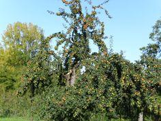 Old Appletree - Schlat