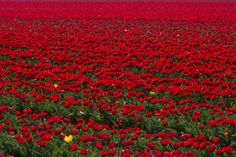 A flower that blooms in adversity is the most rarest and beautiful of all. Tulips make this statement true. 바둑이사이트 바둑이사이트 바둑이사이트 바둑이사이트 바둑이사이트 바둑이사이트 바둑이사이트 바둑이사이트 바둑이사이트 바둑이사이트