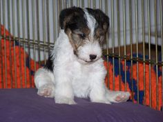 King of the hill at 5 weeks! Fox Terriers, Chien Fox Terrier, Wirehaired Fox Terrier, Wire Fox Terrier, Airedale Terrier, Terrier Puppies, Wire Haired Terrier, King Of The Hill, Cute Fox