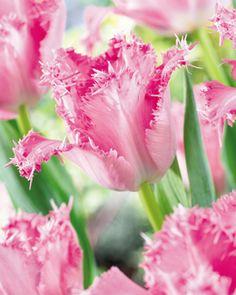tulipa santander