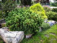 Conifers in the winter garden are an important point in garden designing, because they create a strong shape and structure. It is easy to pack a garden with Pine Nut Tree, Botanical Gardens Near Me, Mugo Pine, Landscape Design, Garden Design, Spring Landscape, Landscape Plans, Landscape Architecture, Organic Gardening Magazine