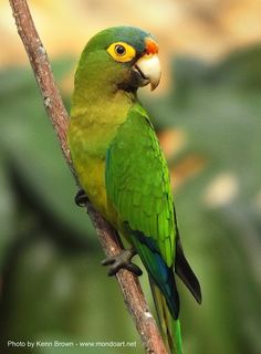 Another shot of our resident Orange-fronted Parakeet - Perico Frentinaranja