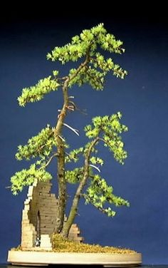 American Larch (Larix laricina) by Nick Lenz