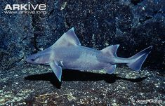 A rare and little-known species, the angular rough shark (Oxynotus centrina) is suitably named for its pointed head and fins, and the rough teeth-like scales, known as 'denticles', which cover its body. Underwater Creatures, Ocean Creatures, Weird Sharks, Types Of Sharks, Small Shark, Shark Photos, Shark Family, Life Under The Sea, Shark Swimming