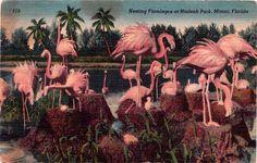 Nesting Flamingoes at Hialeah Park, Miami, Florida