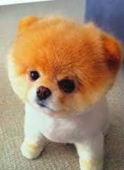 *Boo the Dog (: He's soooooo fluffyyyyyyyy! Boo The Cutest Dog, World Cutest Dog, Cutest Pets, Cutest Puppy, Puppy Care, Pet Puppy, Dog Cat, Boo Dog, Cute Puppies