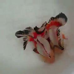 Beautiful and unique fish ♥️♥️ - Tiere - Animals Funny Animal Videos, Cute Funny Animals, Cute Baby Animals, Animals And Pets, Beautiful Creatures, Animals Beautiful, Pet Fish, Paludarium, Aquarium Fish