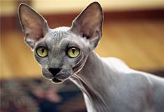 Sphynx Hairless Cat Breed Information and Photos #catbreed #fluffycatsbreeds