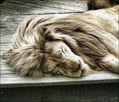 #lion #lionmane #beautiful #animal #bold #courageous #wild