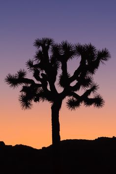 Joshua Tree Silhouette, Joshua Tree National Park by Anne McKinnell