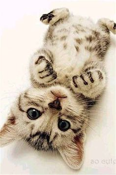 Cute Cats Pictures Cute Kittens And Puppies Videos Cute Kittens, Cats And Kittens, Ragdoll Kittens, Bengal Kittens, Kittens Cutest Baby, Tabby Cats, Kittens Meowing, Cute Baby Cats, Cutest Pets