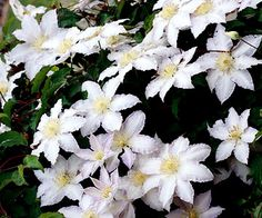 Clematis 'Gillian Blades'  A stunning selection with ruffled white blooms in late spring and early summer then again in late summer and early fall. It climbs to 8 feet tall. Zones 5-8 Clematis - Plant Encyclopedia - BHG.com