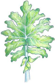 """Karen's Kale"" A watercolor/colored pencil sketch by Debra Gabel for a friends new product line."