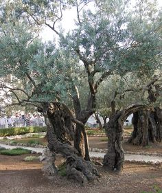 """""""Gethsemane"""" is a garden at the foot of the Mount of Olives in Jerusalem most famous as the place where, according to the gospels, Jesus and his disciples are said to have prayed the night before he was arrested.  Photo by Yoav Dothan"""