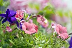 Pink and Purple Petunias (Petunia) 'Surfinia Series' - Ron Evans/Photolibrary/Getty Images