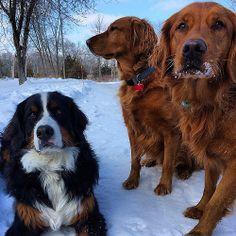Three's company. #dog #dogs #katanddog #golden #retriever #goldenretriever #goldenretrievers #berner #bernese #bernesemountaindog