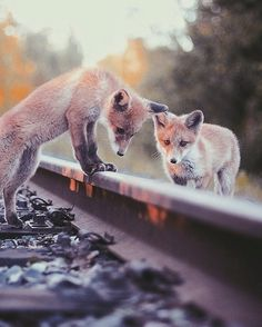 Fox cubs on railtracks