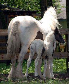 by The Pelton Vanners Gypsy Vanner Horses
