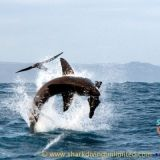 Photos of great white sharks breaching Taken by Shark Diving Unlimited, Browse through our amazing photos.