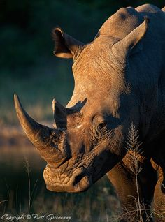 Dear Rhino Sir by Brett Greenaway on 500px ~ Where do you get your protein?