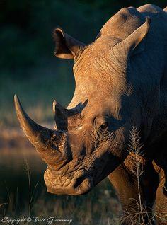Dear Rhino Sir by Brett Greenaway on 500px ~ Where do you get your protein?