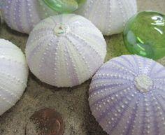 Lavender sea urchins.