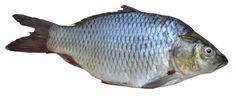 Fish PNG image, free download