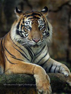 https://flic.kr/p/FyWvXo | Sumatran Tiger 5 | OLYMPUS DIGITAL CAMERA