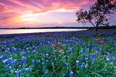 A profusion of Texas Bluebonnets