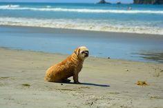 Pet Photos, New Zealand, Labrador Retriever, Pets, Beach, Photography, Animals, Labrador Retrievers, Animals And Pets