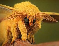 Big, fluffy, orange moth