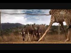 Dieren uit Zuid-Afrika spelen voetbal in het kader van de kinderboekenweek 2013 over sport en spel klaar voor de start.