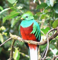 "quetzalli  ""cola larga de plumas brillantes"" (náhuatl) Reino: Animalia  Filo: Chordata Clase: Aves Orden: Trogoniformes Familia: Trogonidae ..."