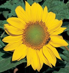 One of the best sunflowers for cut flowers, Zebulon Semi-Dwarf Sunflower Seeds produce uniform tidy flowers. Add this easy to grow seeds to your garden today