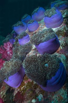Anenomes on coral reef
