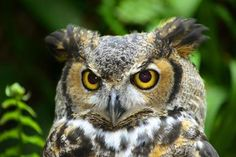 Facts About Great Horned Owls