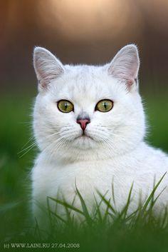 cute white kitty