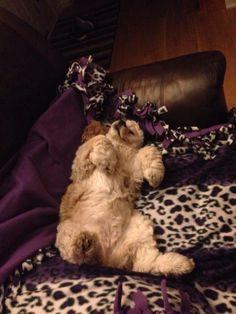 Fluffy, sleepy cocker spaniel!