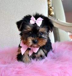 Shorkie Puppies For Sale Sugar Shorkie Puppies Brown And