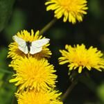 I'm always happier in Springtime, not sure why… A Green-veined White on Dandelions  Alan McBride (alanmcbride) on Twitter