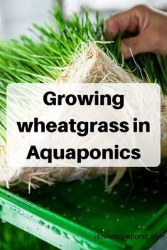 Have you heard of aquaponics? Aquaponics Combines the Growing of Fish and Plants You may grow plants in water and without soil and once one does this together with growing fish you are practicing aquaponics. Growing Wheat Grass, Growing Herbs, Growing Vegetables, Aquaponics Plants, Aquaponics System, Hydroponics, Indoor Aquaponics, Aquaponics Greenhouse, Fodder System