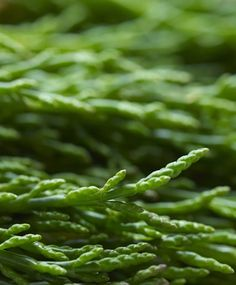 In Season - August. Samphire can be foraged along the estuary shoreline. Pickle it or flash fry it in butter.