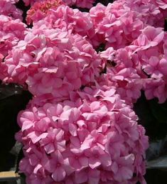 Hydrangeas http://www.ndsu.edu/pubweb/chiwonlee/plsc211/student%2520papers/articles09/haylee%2520a%2520wax/pH%2520affects%2520on%2520hydrangea%2520-hw_files/pink-hydrangea.jpg