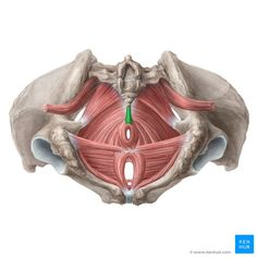 Muscles of the pelvic floor Human Muscle Anatomy, Human Anatomy, Pelvic Floor Exercises, Abdominal Exercises, Skeleton Muscles, Human Skeleton, Nervous System Parts, Pelvis Anatomy, Musculoskeletal System