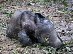 Baby Sumatran rhino... wow.