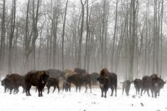 Bison are seen at a bison nursery in the exclusion zone around the Chernobyl nuclear reactor near the abandoned village of Dronki, Belarus. Environmental Degradation, Chernobyl Disaster, Nuclear Reactor, Nuclear Disasters, Spooky Places, Reportage Photo, Search And Rescue, All Gods Creatures, Post Apocalyptic